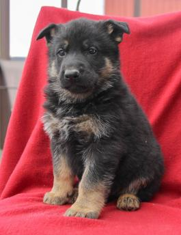 Ethan German Shepherd Husky Puppy For Sale In Coburn Pa Happy Valentines Day Happyvalentinesday2016i