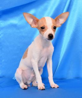 Stella Toy Fox Terrier Puppy For Sale In Millersburg Oh