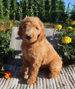 Hasel - Goldendoodle Puppy for Sale in Newport, PA