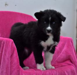 Snowy Border Collie Husky Puppy For Sale In Fredericksburg Oh