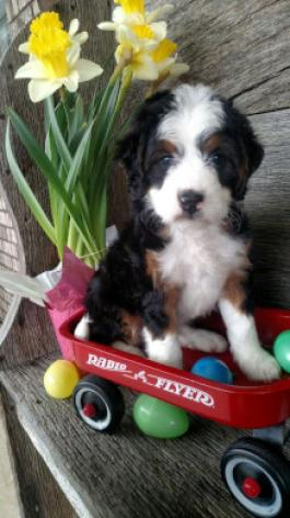 maxine bernadoodle mini puppy for sale in fredericksburg oh