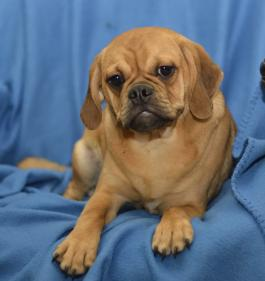Puggle Puppies for Sale | Lancaster Puppies