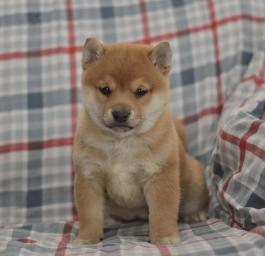 Kimberly Shiba Inu Puppy For Sale In Elizabethville Pa
