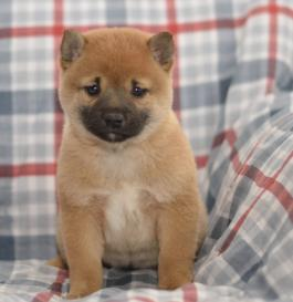 Milly Shiba Inu Puppy For Sale In Sugarcreek Oh Lancaster