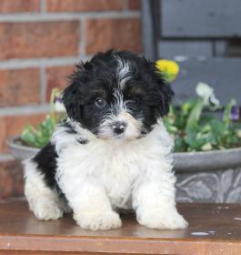 Havanese Puppies for Sale | Lancaster Puppies