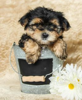 Morkie Puppies for Sale in PA | Lancaster Puppies