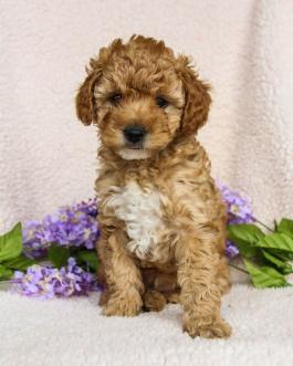 Miniature Poodle Puppies for Sale in PA | Lancaster Puppies