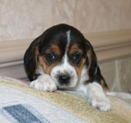 Beagle Puppies For Sale Lancaster Puppies Happyvalentinesday2016i