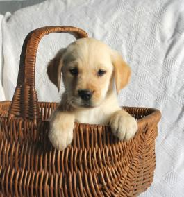 Santiago Golden Retrieverlab Puppy For Sale In Millersburg Oh