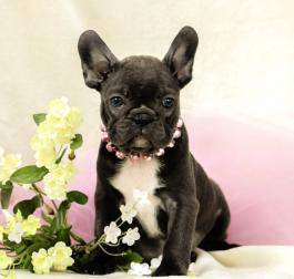 Frenchton Puppies for Sale in PA | Lancaster Puppies