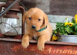Labrador Retriever - Red Fox Puppies for Sale | Lancaster Puppies