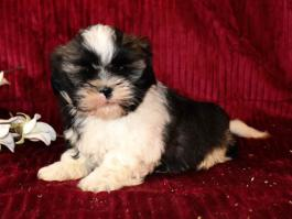 Shih Tzu Puppies For Sale Lancaster Puppies Happyvalentinesday2016i