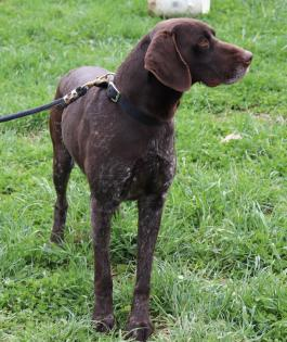 German Shorthaired Pointer Puppies For Sale In Pa Lancaster
