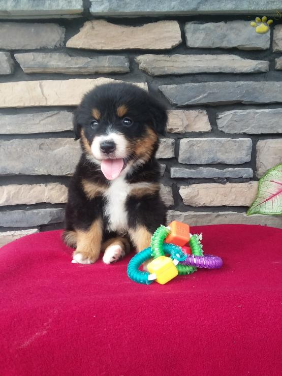 Tio Bernese Mountain Dog Mix Puppy For Sale In Fresno Oh
