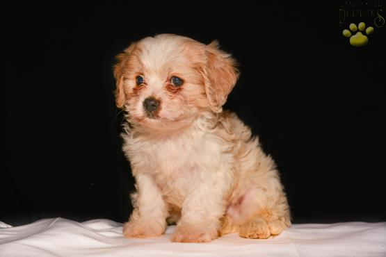 Ross - A Cavachon Puppy for sale in Wooster, OH