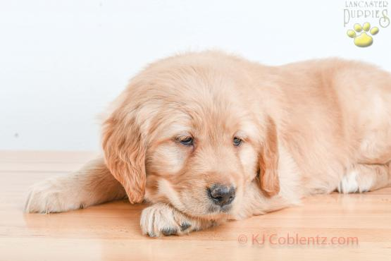 Fifi- GOLDEN RETRIEVER FOR SALE IN BALTIC, OH