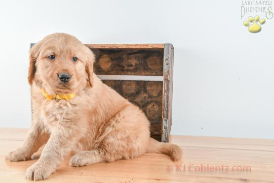 FRITZ - GOLDEN RETRIEVER FOR SALE IN BALTIC, OH