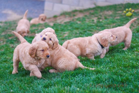 FRANKY - GOLDEN RETRIEVER FOR SALE IN BALTIC, OH
