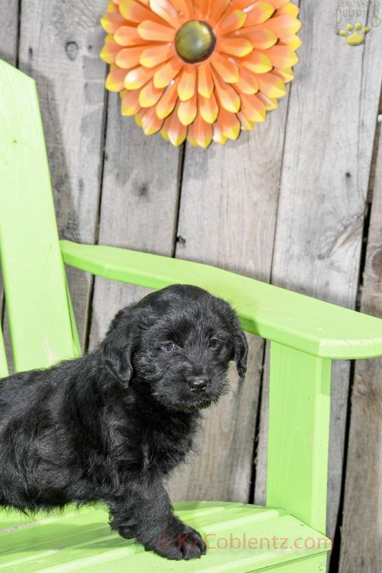 Gunner - Mini Labradoodle for sale in Apple Creek, OH
