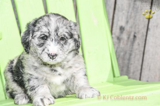 Rocky - Blue Merle Mini Labradoodle for sale in Apple Creek, OH