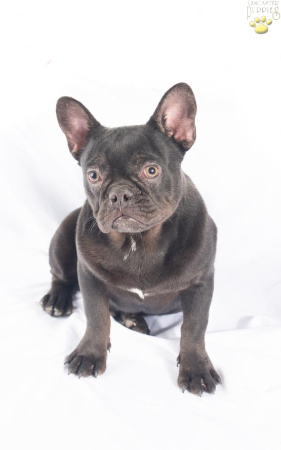 Tucker -Stunning French Bulldog for sale in OH