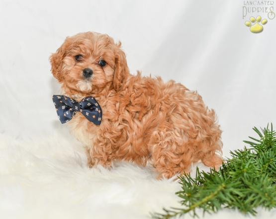 Rowdy - Cavapoo Puppy for Sale in Millersburg, OH
