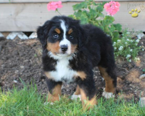 Beast Bernese Mountain Dog Puppy For Sale In Columbus Oh