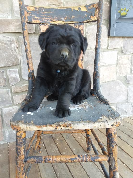 Chase Lab Rottweiler Mix Rottweiler Mix Puppy For Sale In Port