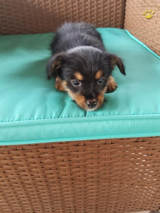 Teddy Yorkie Pom Puppy For Sale In Port Treverton Pa Lancaster