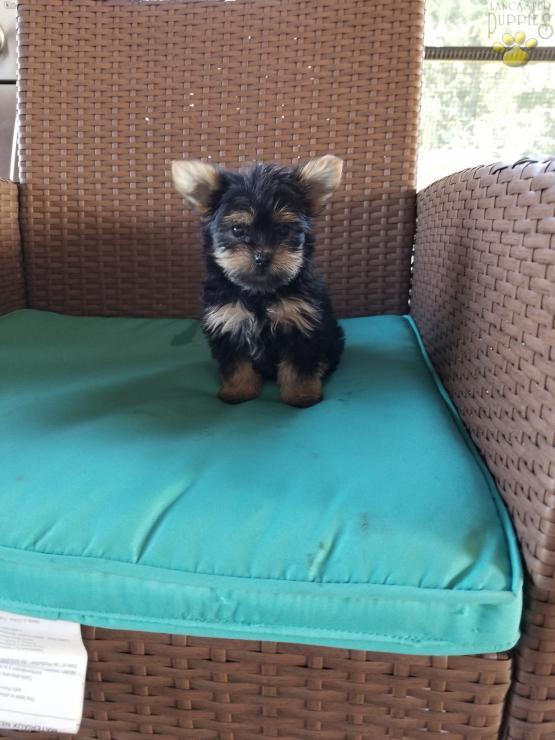 Cutie Yorkie Pom Puppy For Sale In Port Treverton Pa Lancaster