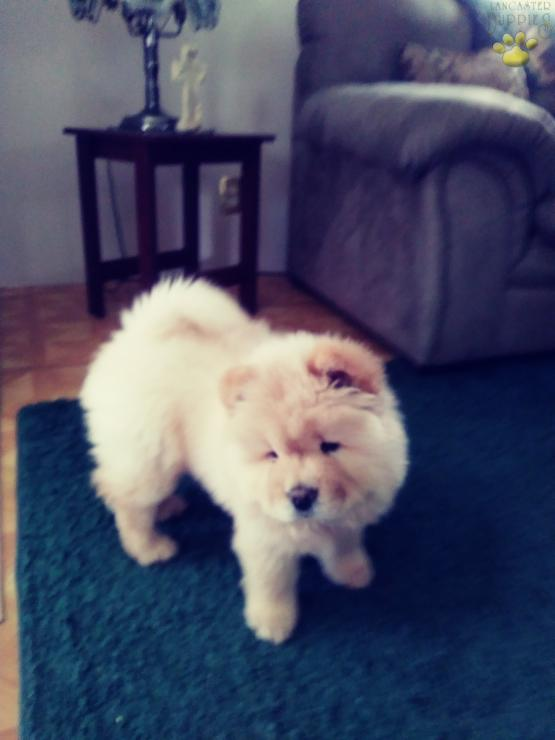 Bella Chow Chow Puppy For Sale In York Haven Pa Lancaster