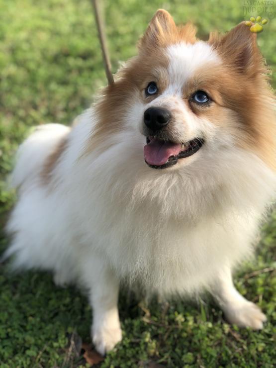 Echo Blue Eyes Pomeranian Puppy For Sale In Dallas Tx Lancaster