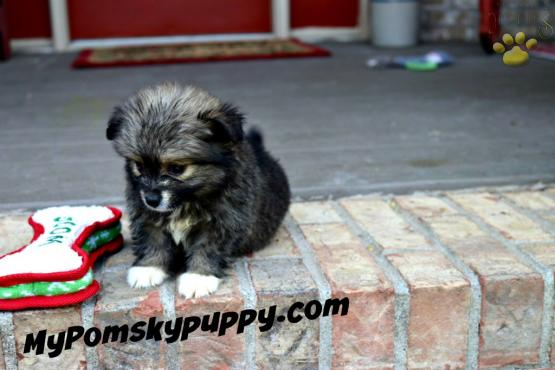 Wish (Micro Mini) - Pomsky Puppy for Sale in Scottsville, KY