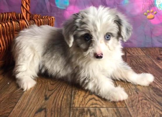 Cosmo Mini Aussiedoodle Puppy For Sale In East Sparta Oh