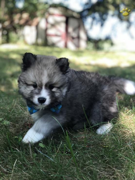 Try These Pomsky Puppies For Adoption In Nj {Mahindra Racing}