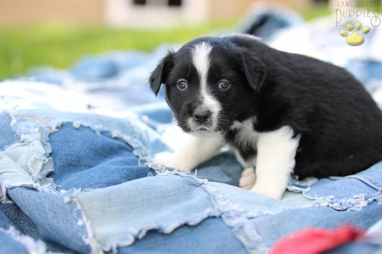 Australian Shepherd Puppy For Sale, Holmesville, Ohio