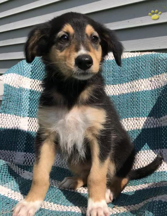 Lilly English Shepherd Puppy For Sale In Hillsboro Oh Lancaster