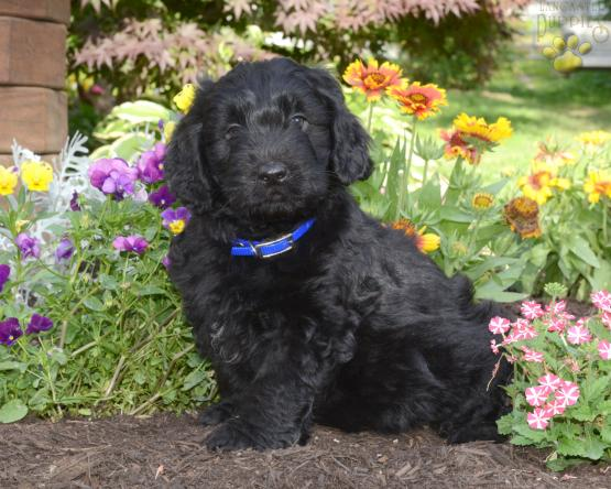 TOBY - Mini Newfypoo Puppy for Sale in Fresno, OH