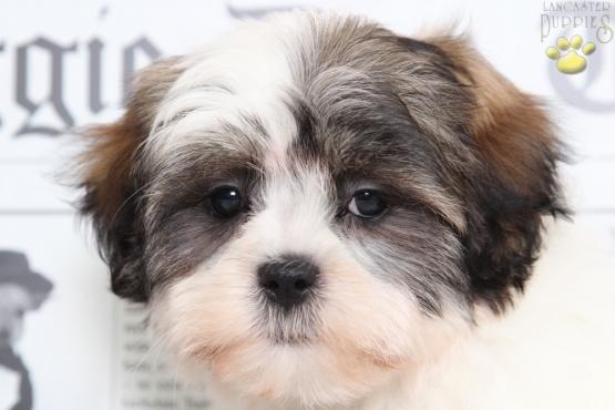 Baby Maltzu Malteseshih Tzu Puppy For Sale In Bel Air Md
