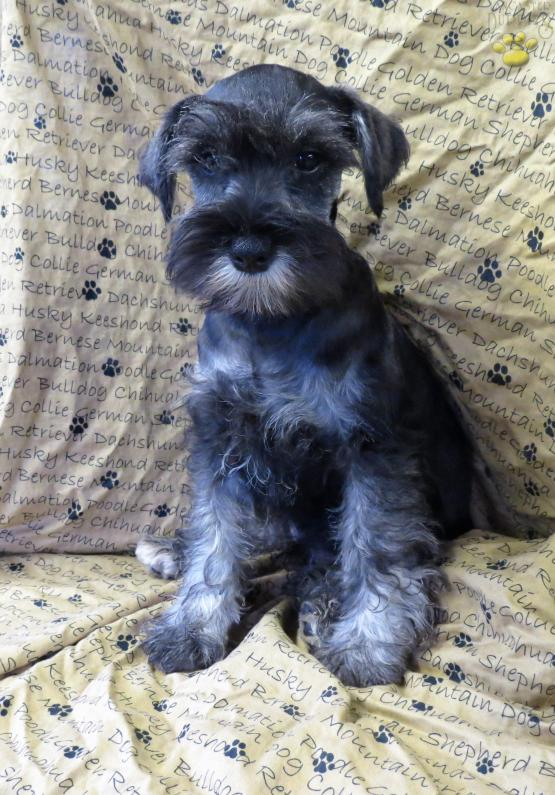 Calvin Miniature Schnauzer Puppy For Sale In Shippensburg Pa