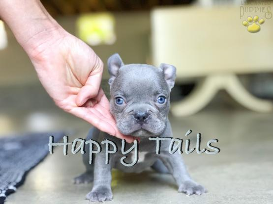 Cyrus Exotic Lilac Frenchie Male Puppy For Sale In Ohio French