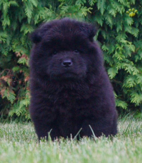 Akc Vala Amazing Chow Chow Puppy Very Nice Chow Chow Puppy For