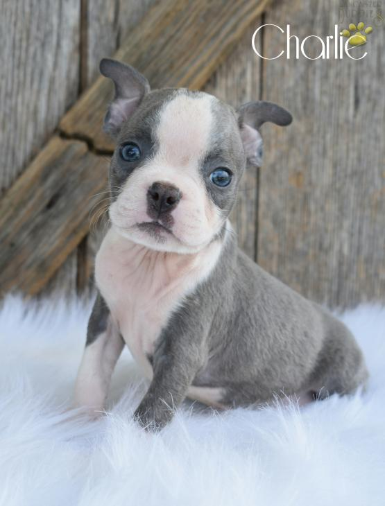 charlie rare blue with very rare two blue eyes boston terrier