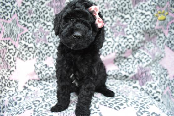Andi F1b Mini Labradoodle Mini Labradoodle Puppy For Sale