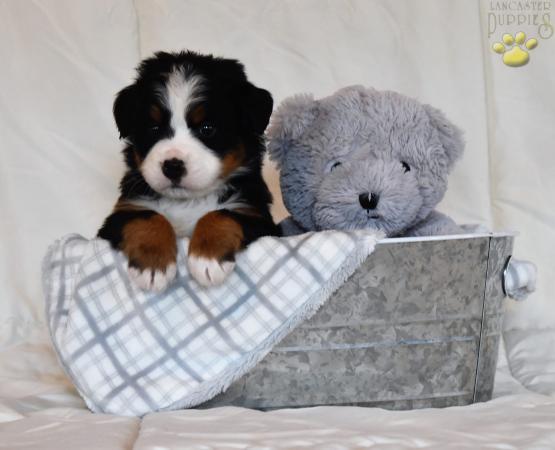 Shane Bernese Mountain Dog Puppy For Sale In Millersburg