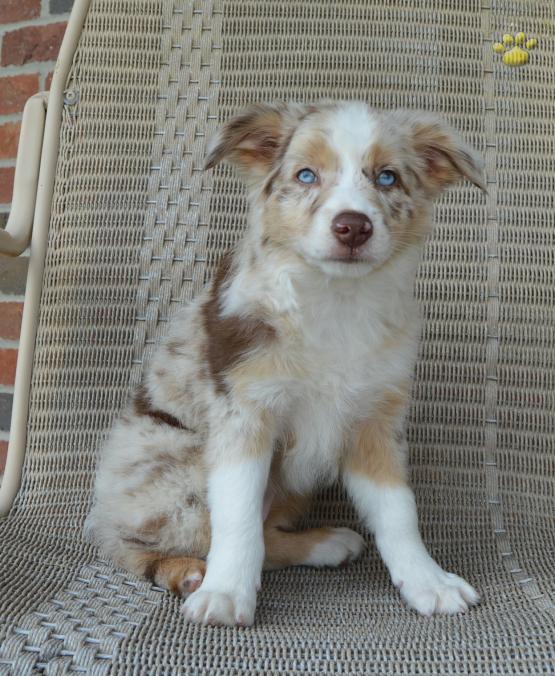 MINI aussie female puppy-red merle with blue eyes