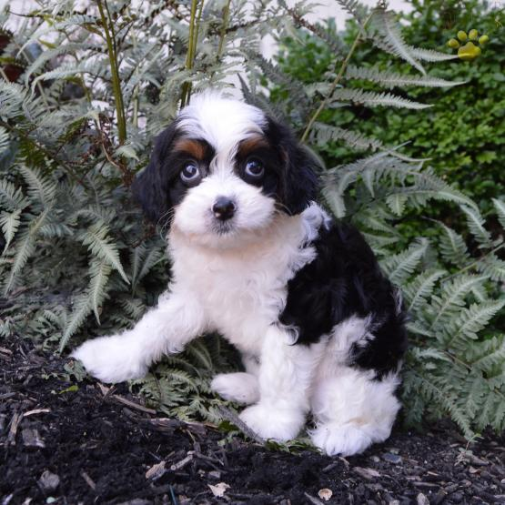 2nd generation cavapoo male puppy available--adorable
