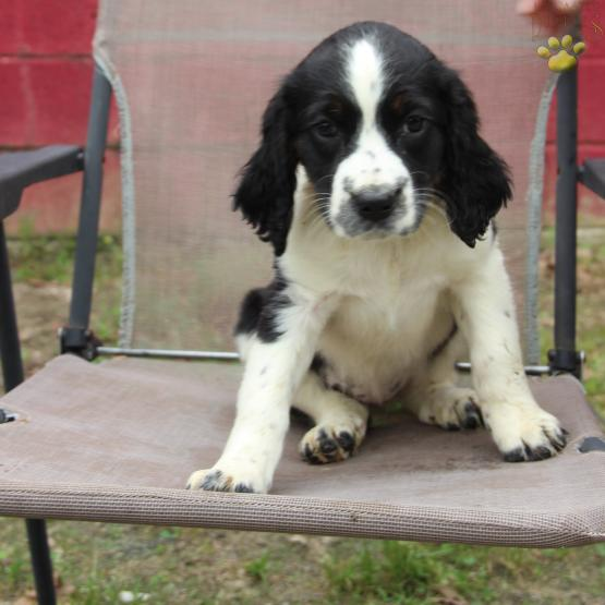 Buster - English Springer Spaniel Puppy for Sale in EGG HARBOR CITY