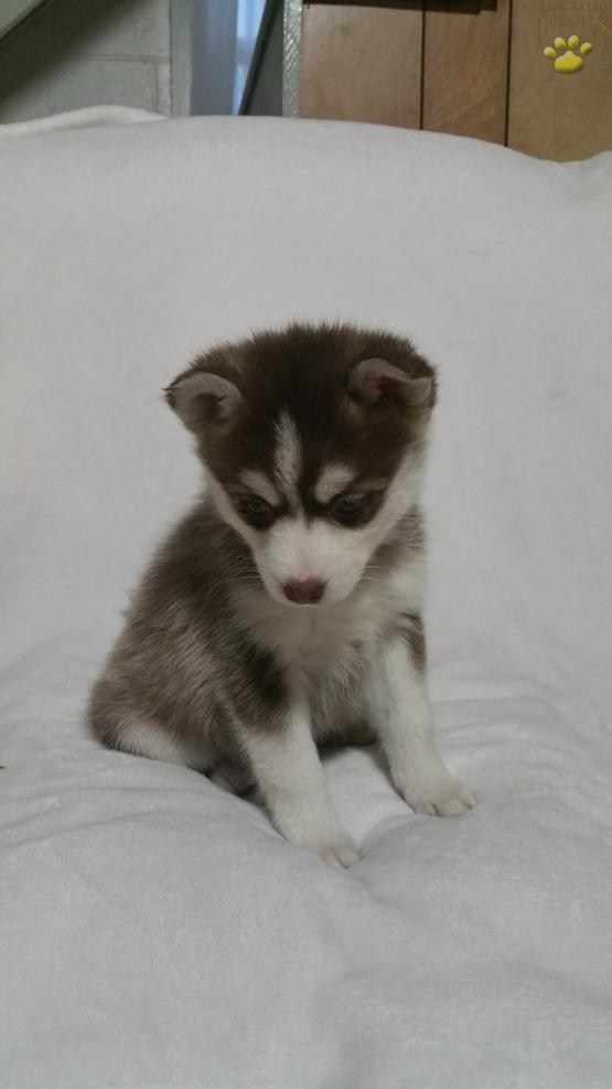 Dena Pomsky Puppy For Sale In Berlin Oh Lancaster Puppies