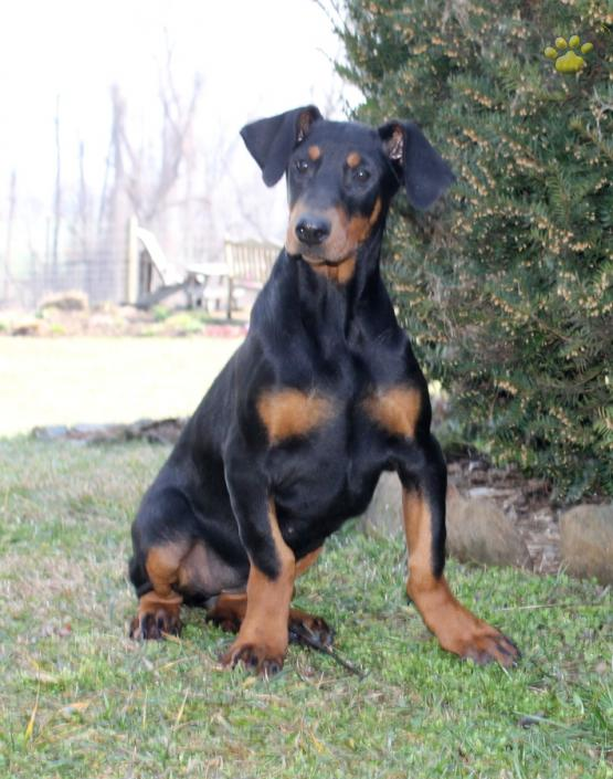 Delta Doberman Pinscher Puppy For Sale In Ronks Pa Lancaster